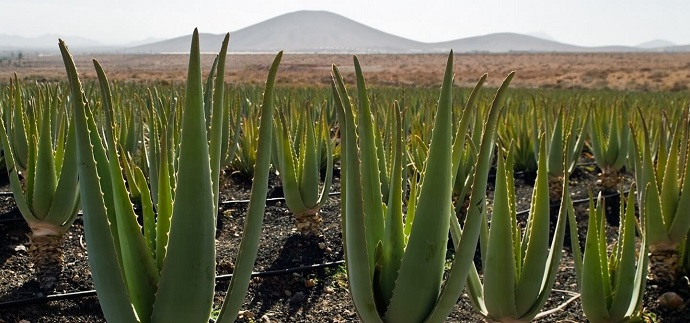 ALOEVERA PRODUCTION