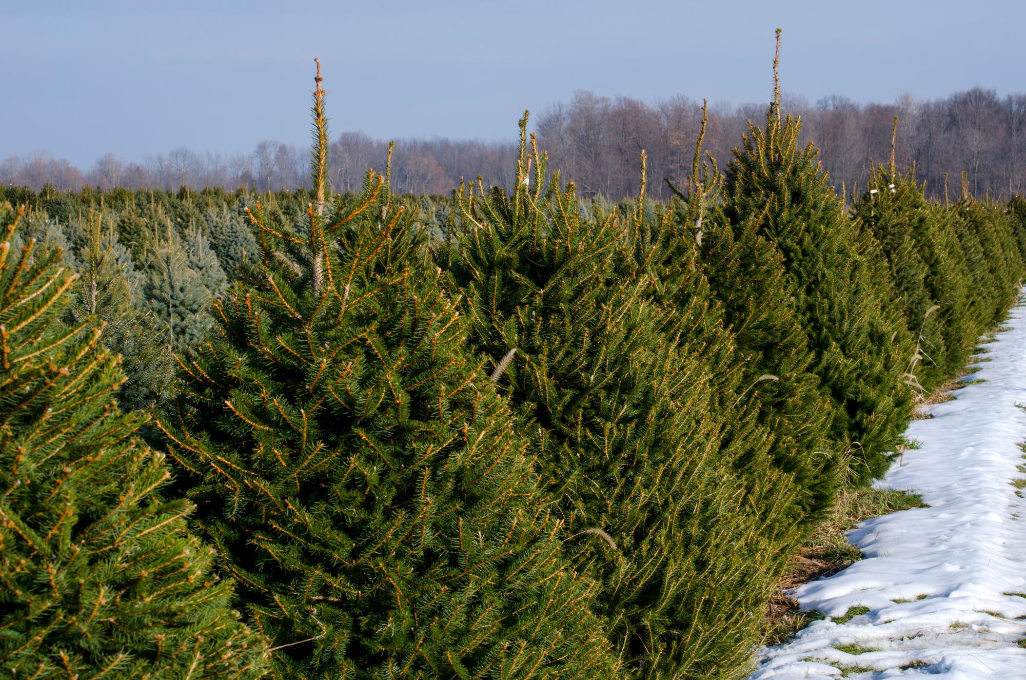 انواع درخت کریسمس