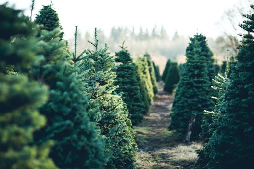 کاشت درخت کریسمس